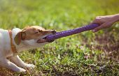 Jack Russell Terrier Dog Playing With Puller Toy poster