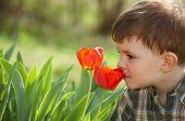 Постер, плакат: Четыре лет маленький мальчик пахнущие красный тюльпан цветок в саду весной