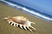 Beach Seashell