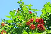 Ripe Fruits Of Guelder-rose Hang On The Branches. Ripe Fruits Of Viburnum poster