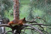Squirrel On The Pine Branch