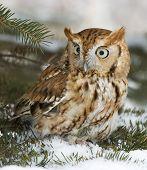 Owl-Screech (Otus Asio)