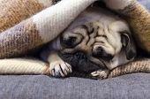 Cute Small Dog Breed Pug Sleeping On The Sofa Wrapped In Blanket poster