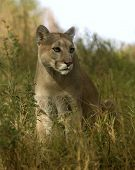 Animal Cougar Grass