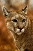 Animal Cougar Fall