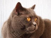 Portrait Of British Cat. View Of Domestic Big British Cat With Yellow Eyes. British Cat Breed Laying poster