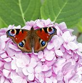 Red Butterfly On Pink Hydrangea