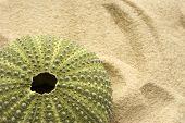 Sea Urchin On Sand