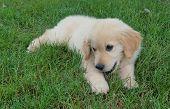 Golden Retriever Puppy. An Adorable 12-week Old Golden Retriever Puppy Plays In The Grass On The Fir poster