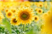 A Blossoming Sunflower Flower Close-up, A Hot Summer Day, An Agricultural Crop, A Growing Sunflower  poster