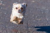 Small Cute Chihuahua Dog Fast Running Directly To The Camera. Young Adorable Beige Dog. Flying Dog. poster