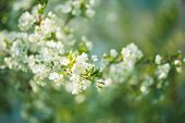 White Flowers Cherry Tree. White Flowers Cherry Tree. Flowers Cherry Tree Blossomed. Honey And Medic poster