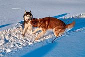 Dogs Are Playing In Snow. Siberian Husky Dogs Fight And Bite In Snowdrift. Warm Light Evening Winter poster