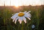 Close-up Illuminated By Summer Sunrays One Chamomile Covered With Morning Dew Drops In Dawn. Selecti poster