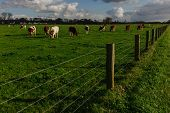 Cows Grazing On Grassy Green Field On A Bright Sunny Day. Normandy, France. Cattle Breeding And Indu poster