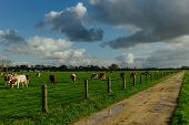 Cows Grazing On Grassy Green Field Near The Dirt Country Road In Normandy, France. Countryside Lands poster