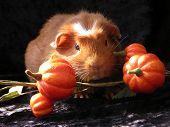 Guinea Pig In Pumpkin Patch