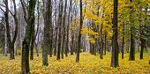 Autumn Forest . Late Fall. Overcast. A Beautiful Autumn Forest With Dark Tree Trunks And Yellow Leav poster