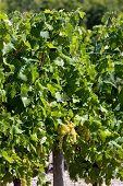 white grape in Jarnac, Poitou-Charentes, France