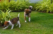 Canine Activities. Cute Puppies Playing On A Green Grass Garden Lawn. Thailand. poster