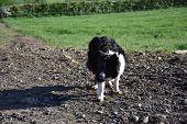 Border Collie Dog Waiting For Instructions For Herding. poster