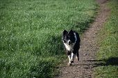 Sweet Black And White Border Collie Dog Fetching A Stick. poster