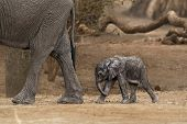 African Bush Elephant - Loxodonta Africana Small Baby Elephant With Its Mother, Drinking, Sucking Mi poster
