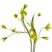 yellow lily (Gagea lutea) isolated on white background