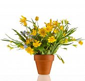 Bouquet  Blossom Flowers of Lesser Celandine and Yellow Llily in terracotta clay flowerpot  isolated
