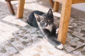 Calm Gray Kitty Lying On The Floor Near Wooden Chair Leg And Looking In The Camera. Russian Blue Cat poster