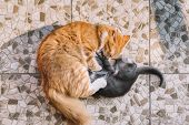 Little Gray Kitten And Adult Ginger Cat Play On The Floor. Frisky Cats Fight With Each Other. Domest poster