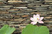 Постер, плакат: Lotus с каменной стеной фоном