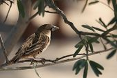 The Sociable Weaver (philetairus Socius), Also Known As The Common Social Weaver, Common Social-weav poster