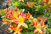 image of molly  - Azalea Mollis Flowers Blooming in Spring Garden - JPG