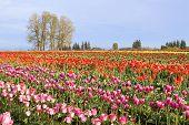 Flowers Blooming In Tulip Field In Springtime