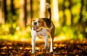 The Beagle Dog In Sunny Autumn Forest. Hound With A Stick In Woods poster