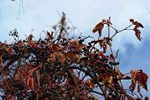Red Leaves Of Wild Grapes. Colorful Autumn, Bright Wild Grape Background. poster