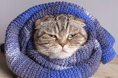 Funny Cat (scottish Fold) Wrapped In A Soft, Warm Wool Scarf. She Is Not Happy With The Onset Of Col poster