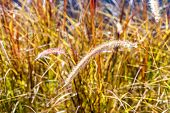 Close-up Flowers Of Red Grass, Curved Grass Flowers Down The Path In The Garden Isolated On Multi-co poster