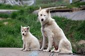 Sled Dog With Puppy In Ilulissat