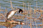 image of great crested grebe  - Great Crested Grebes - JPG