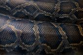 Python Snake Body With Skin Scales Closeup. Living Snake Body Closeup. Snakeskin Scales Ornament. Py poster