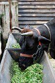 Bauernhof Thema: Kuh Essen