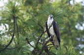 image of small-hawk  - An osprey is perched on a small branch in a pine tree.