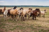 A Herd Of Wild Horses Run Across The Field. A Large Herd Of Beautiful Horses Gallops Across The Fiel poster