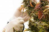 Marijuana Plant. Cannabis Sativa Plant with Female Flowers. Marijuana cultivation. Room for text. Ca poster
