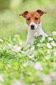 Jack russel na floresta de Primavera