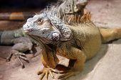 Big Iguana Lizard
