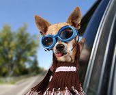 a chihuahua in a car