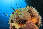 picture of damselfish  - Anemonefish on coral reef with Clownfish and Damselfish - JPG